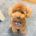 子犬 タイニープードル ポム君①