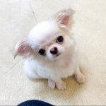 子犬トレーニング チワワ モン君②-2