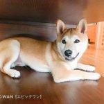 子犬トレーニング 柴犬 ヤマト君①