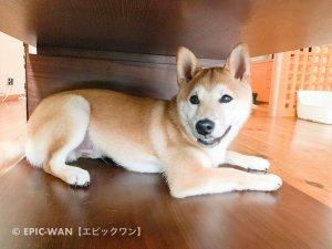 子犬トレーニング 柴犬 ヤマト君③