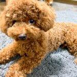 子犬トレーニング タイニープードル ポム君②