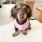 子犬トレーニング ミニチュアダックス ルナちゃん④