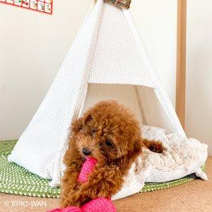 子犬トレーニング トイプードル シナモンちゃん