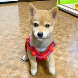 子犬トレーニング 柴犬 ムギ君