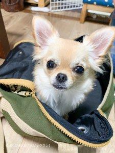 子犬トレーニング チワワ 小梅ちゃん⑥