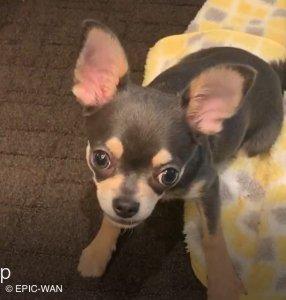 子犬トレーニング チワワ ムースちゃん②