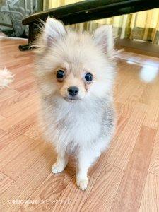 子犬トレーニング ポメラニアン まりもちゃん⑥