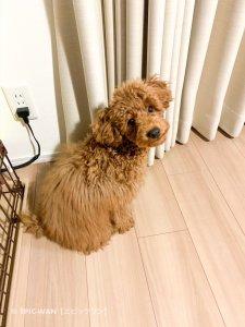 子犬トレーニング トイプードル 茶々丸君