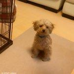 子犬トレーニング トイプードル ロア君