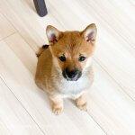 子犬トレーニング 柴犬 三郎君