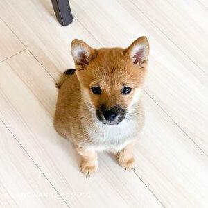 子犬トレーニング 柴犬 三郎君①