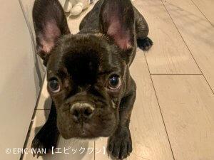 子犬トレーニング フレンチブルドック クール君⑧
