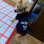 子犬トレーニング 柴犬 ムギ君⑧