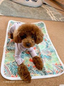子犬トレーニング トイプードル シナモンちゃん⑨