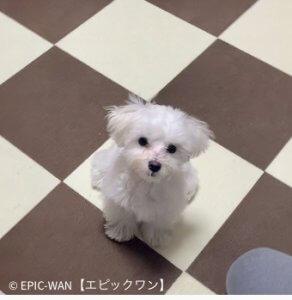 子犬トレーニング マルチーズ ミッキー君