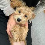 子犬トレーニング マルチーズ×トイプー モカちゃん