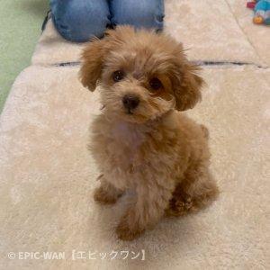 子犬トレーニング トイプードル リズちゃん②
