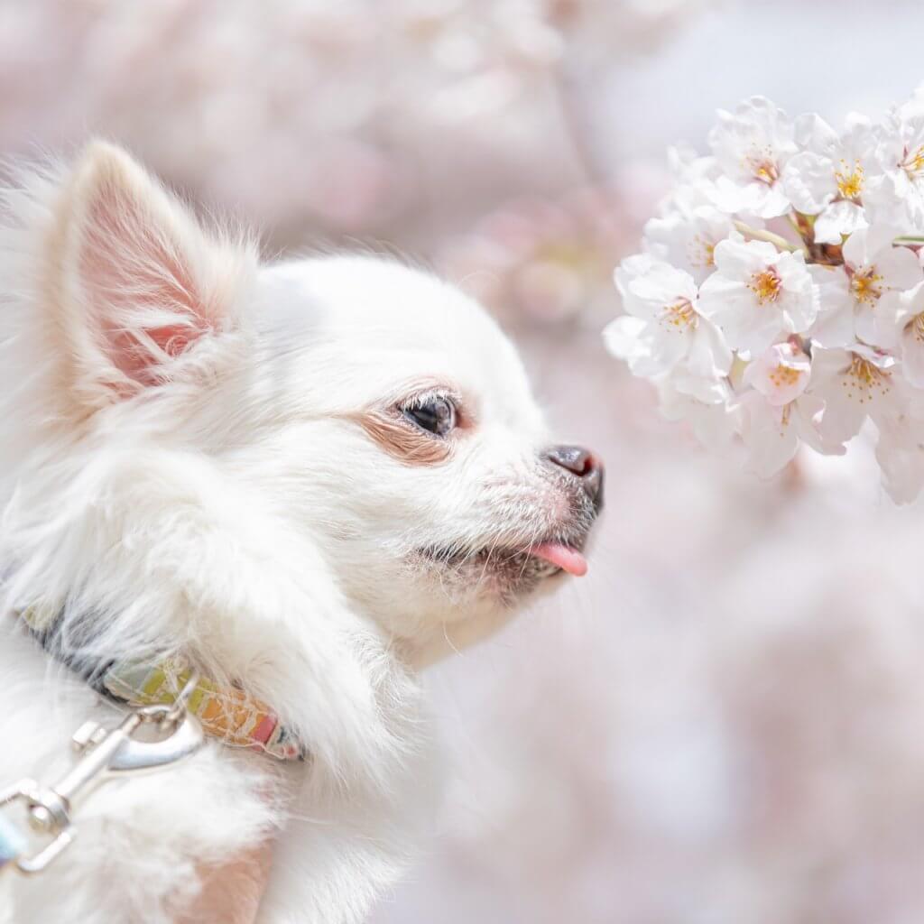 お花見 犬