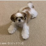 子犬トレーニング シーズー シロウ君