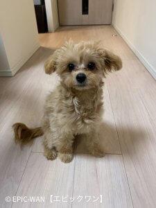 子犬トレーニング チワワ×プードル ショコラ君