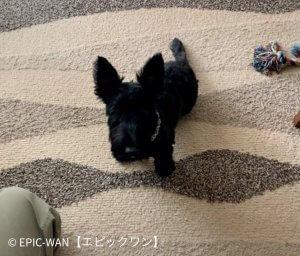 子犬トレーニング スコティッシュテリアノアールちゃん
