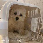 子犬トレーニング トイプードル モモちゃん