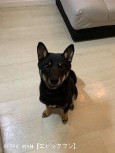 子犬トレーニング 柴犬 レオン君