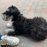 子犬トレーニング シュナウザー ルーカス君