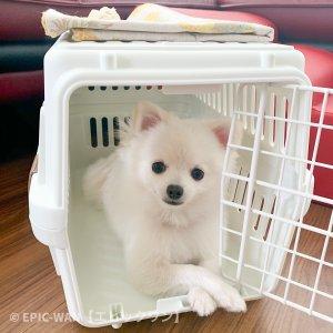 子犬トレーニング ポメラニアン ミルクちゃん