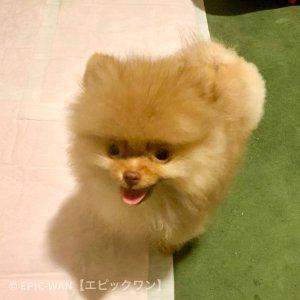 子犬トレーニング ポメラニアン ロビン君