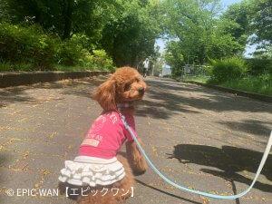 子犬トレーニング トイプードル リズちゃん